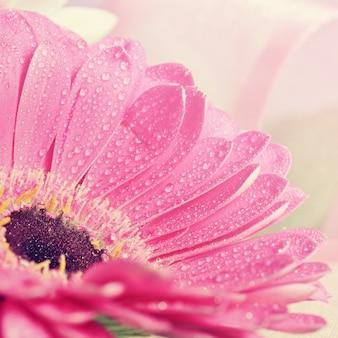 Beaux fleurs colorées en marguerite.Gerbera. Fond de printemps - jardin.