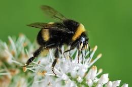 Bee et fleur blanche