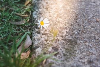 Belle fleur de marguerite sauvage au bord de la route en plein soleil.