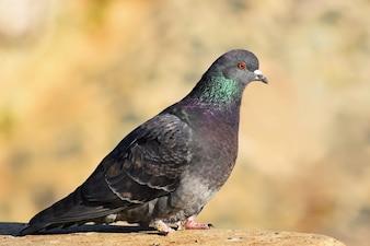 Belle photo d'un oiseau. Pigeon sauvage (Columba livia domestica) et fond coloré.