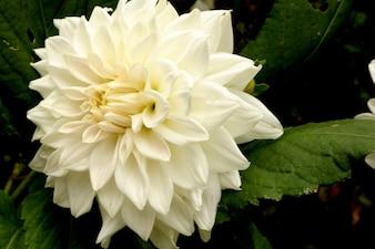 Belle photo haute résolution de Dahlia Blanche