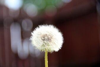 Pissenlit vecteurs et photos gratuites for Plante lumineuse