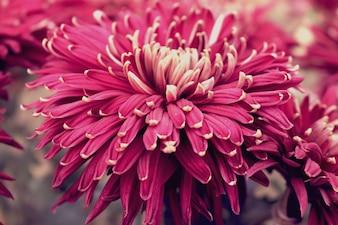 Belles fleurs pourpres