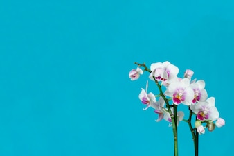 Belles orchidées avec fond bleu
