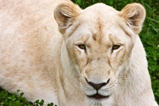 Blanc lionne lion