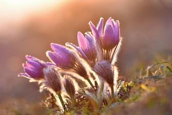 Blooming fleurs au coucher du soleil