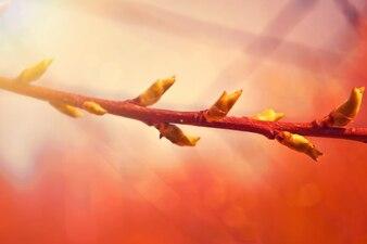 Branche avec des bourgeons
