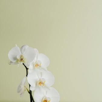 Branche orchidée de couleur blanche