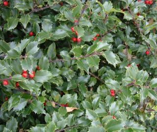 Buisson aux baies rouges