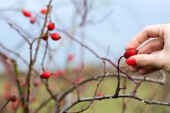Buisson de la Rose des Brousses à l'automne.
