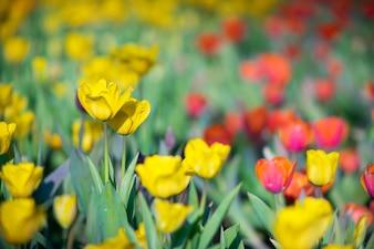 Champ de tulipe