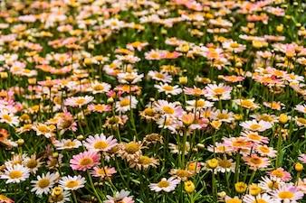 Champ plein de fleurs