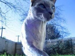 chat plus bleu