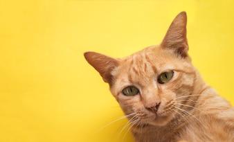Chat tigré mignon gingembre sur fond jaune