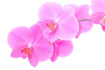 Close-up de délicates orchidées