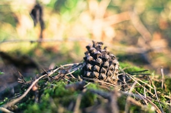 Cône de pin dans la forêt