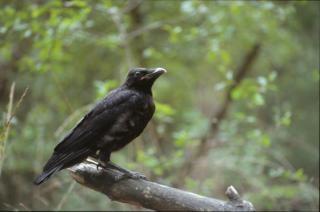 Corneille noire, oiseau