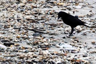 Corneille noire sur la plage