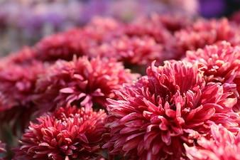 Dahlia fleur d'automne