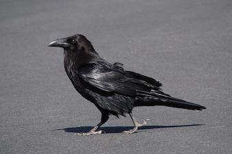 Effrayant corbeau corbeau mouche fouille des oiseaux