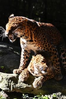 élevage de léopard