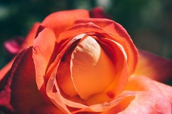 Été fleurissant orange rose closeup