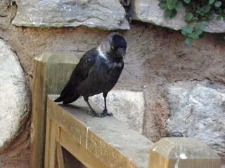 Famille d'oiseaux de corbeaux