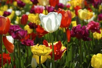 Fleur blanche entre autres jaune et rouge