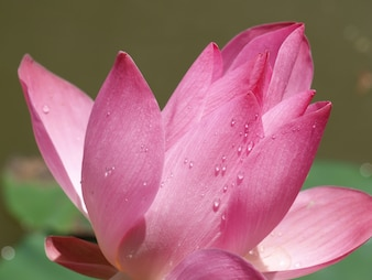 Fleur de pétales de rose