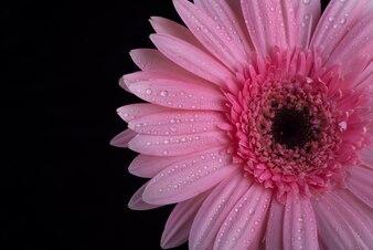 Fleur pourpre fraîche sur fond noir