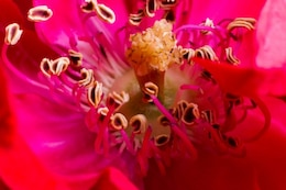 Fleur rose macro