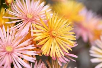 Fleur scucculante