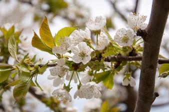 Fleurs de fleurs de cerises blanches