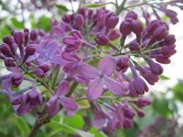 fleurs de lilas