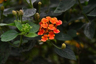Fleurs et de feuilles d'oranger sauvage