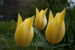 fleurs tulipes jaunes