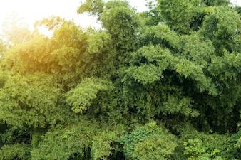 Forêt de bambous verts