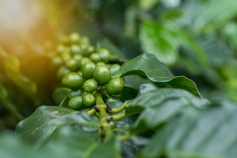 Fruits de café arabica vert sur l'arbre bouchent court et prendre sous l'éclairage sceen, l'image présente la sensation de l'agriculture et peut être utile dans le document dans le séminaire ou le fond de paquet de produit organique