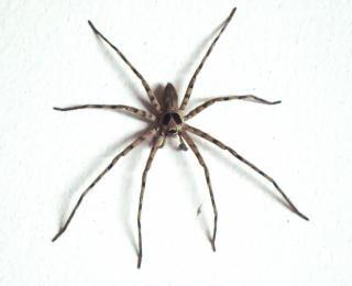 grande maison araignée