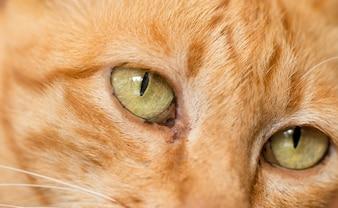Gros plan mignon chat tigré tabby se concentrer sur les yeux