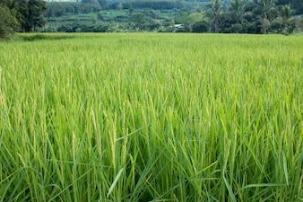 Gros plan, riz, pic, paddy, champ, Automne