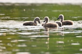 Groupe de canards