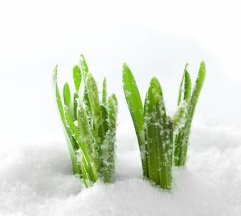 Herbe dans la neige