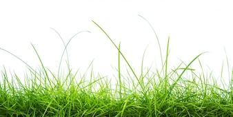 Herbe verte fraîche sur fond blanc