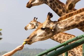 Homme, manger, banane, girafe, zoo