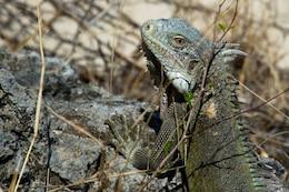 Iguane texture