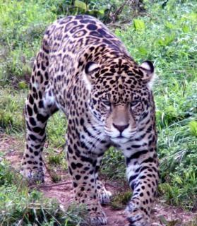 Jaguar chat sauvage