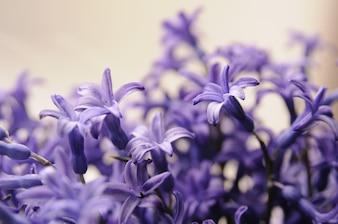 Jardin hollandais commun Hyacinthe (Hyacinthus Orientalis) Close Up. Hyacinthus orientalis macro fleurs, jardin hyacinthe ampoules, bokeh arrière-plan. Fleur de hyacinthus sur blanc