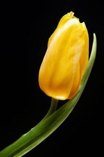 jaune tulipe vert