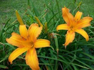 Jour orange lys de bronze